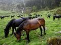 Mérens paarden  in de Pyreneeën