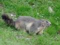 Pyreneeën marmot