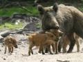 Wilde zwijnen familie in de Pyreneeën