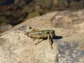 Sprinkhanen in de Pyreneeën
