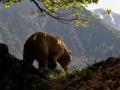 Bruine beer in de Franse Pyreneeën