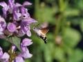 Kolibrivlinder in de Pyreneeën