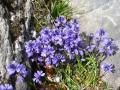 Rotsplanten in de Pyreneeën