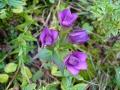 bloemen in de Pyreneeën
