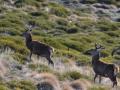 Herten in de Pyreneeën