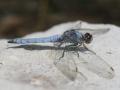 Libelles in de Pyreneeën
