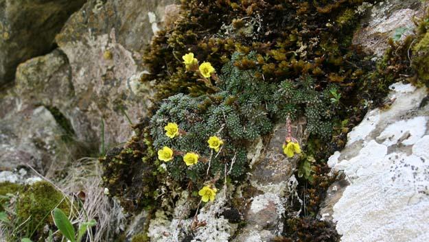 Pflanzen Pyrenäen