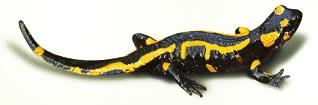salamandre des Pyrénées